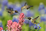 Black-chinned Hummingbirds at Flowers