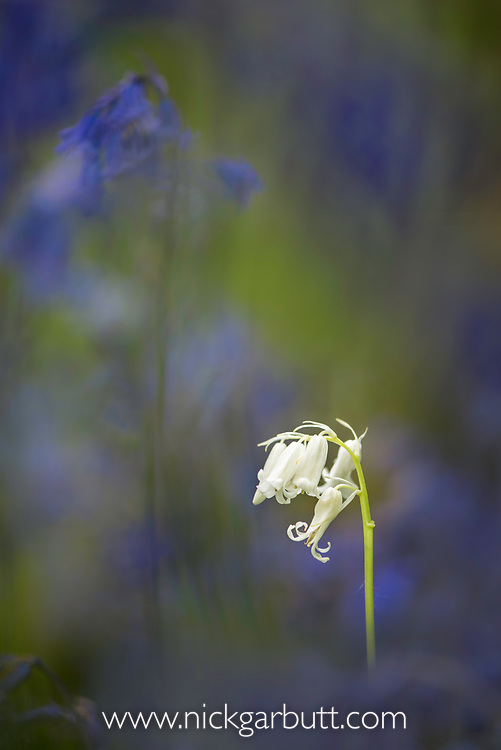White flower, Spanish Bluebell (Hyacinthoides hispanica) surrounded by 'regular' blue flowers. Deciduous woodland, Dorset, England.