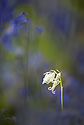 White flower, Spanish Bluebell (Hyacinthoides hispanica) surrounded by 'regular' blue flowers. Deciduous woodland, Dorset, England.