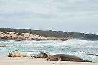 sleeping Hawaiian monk seals, Neomonachus schauinslandi, Critically Endangered endemic species, west end of Molokai, USA, Pacific Ocean