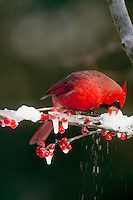 Male Northern cardinal, cardinal cardinalis, bends to chip ice off branch for water while perched on snowy brancy with frozen holly berries