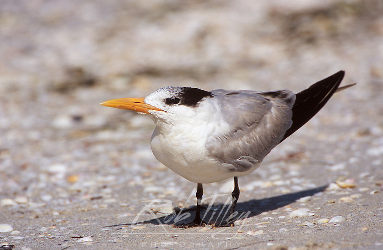 Royal Tern, Sanibel, FL