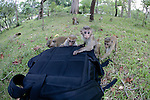 Toque Macaques Investigating Camera Backpack