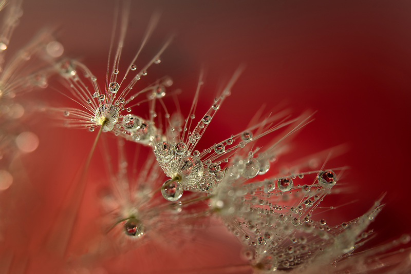 Water drops refracting flowe.