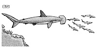 Scalloped hammerhead, Sphyrna lewini, catching longnose spurdogs, Squalus blainville, pen and ink illustration.