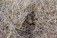 Nest and eggs of Red Phalarope (Phalaropus fulicarius). This species typically nests in moist areas of flat sedge tundra. Vegetation is usually pulled over the nest to form a canopy. Yukon Delta National Wildlife Refuge, Alaska. June.