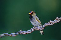 Yellow-faced Grassquit, Tiaris olivacea, male singing, Rocklands, Montego Bay, Jamaica, Caribbean