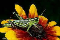 """OR01-042a   Grasshopper - short horned or """"true"""" grasshopper, two-striped grasshopper - Melanoplus bioittatus"""