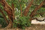 T-139 Carob tree in Jerusalem Forest