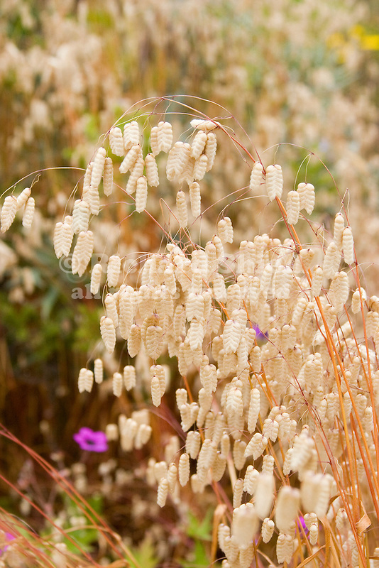 Big Quaking Grass, Briza maxima, seed heads