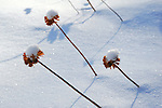 Snow Covered Bee Balm Flowers Reaching up through a Blanket of Deep Snow