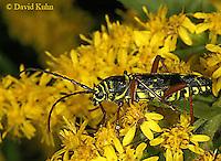 0910-06vv  Locust Borer Beetle - Megacyllene robiniae - © David Kuhn/Dwight Kuhn Photography