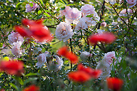 Unser Naturgarten in Hammer, Garten, insektenfreundlicher Garten, vogelfreundlicher Garten, blütenreich, Wildblumen, Wildblumengarten, Mohn, Klatschmohn, Papaver, Rose, Rosen