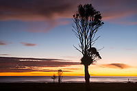 Lonely rata tree at sunset near Punakaiki, Buller Region, West Coast, South Island, New Zealand, NZ