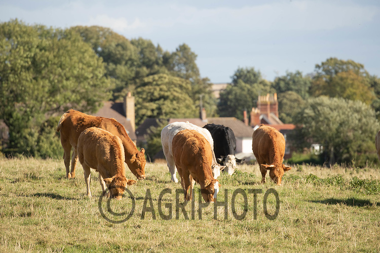 1-10-2021 Beef suckler cows and calves <br /> ©Tim Scrivener Photographer 07850 303986<br />      ....Covering Agriculture In The UK....