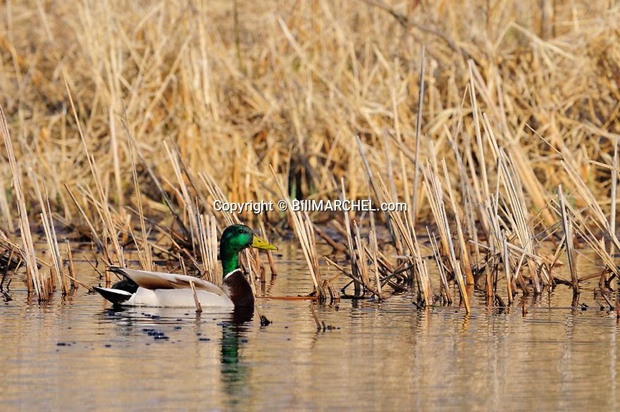00330-083.08 Mallard Duck drake on the water of cattail marsh.  Hunt, waterfowl, wetland.