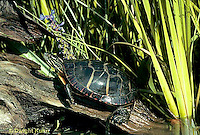 1R13-008b  Painted Turtle - at pond - Chrysemys picta
