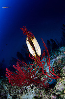 catshark egg, Scyliorhinus sp., on red sea fan, Paramuricea clavata, Vis Island, Croatia, Adriatic Sea, Mediterranean