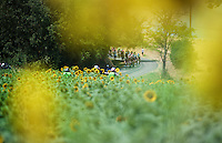 peloton & sunflowers = Tour de France (cliché)<br /> <br /> stage 13: Muret - Rodez<br /> 2015 Tour de France