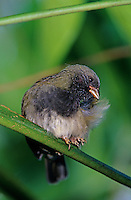 Black-faced Grassquit, Tiaris bicolor,male preening, Rocklands, Montego Bay, Jamaica, Caribbean