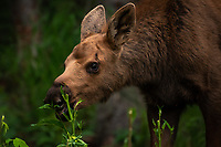 A moose and her calf feed in Chugiak, Alaska.