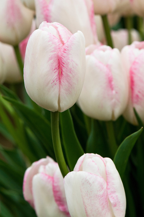 Tulip 'Salvo' (Triumph Group).
