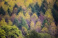 France, Calvados (14), Pays d' Auge, Saint-Martin-de-la-Lieue,  Forêt au printemps // France, Calvados, Pays d' Auge, Saint Martin de la Lieue, Spring forest