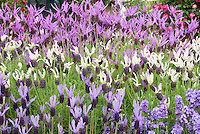 Lavender herb varieties: Lavandula pedunculata ssp. pedunculata (top), L. 'Ballerina' (middle), L. 'Pukehou' & Lavandula angustifolia English Lavender