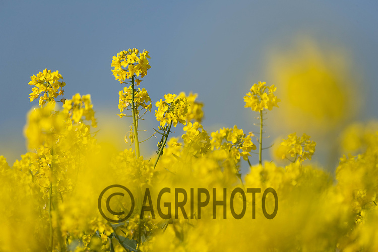 24-4-2021 Oilseed rape flowering<br /> ©Tim Scrivener Photographer 07850 303986<br />      ....Covering Agriculture In The UK....
