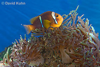 0320-1104  Clark's anemonefish (Yellowtail clownfish), Amphiprion clarkii, with Bulb-tipped Anemone, Entacmaea quadricolor  © David Kuhn/Dwight Kuhn Photography.