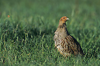 Grey Partridge, Perdix perdix,male, Fretterans, France, May 1999