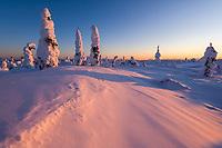 Pink light on wind blown snow patterns and snowloaded spruce trees, Interior, Alaska.