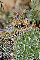 Young prairie rattlesnake (Crotalus viridis) on prickypear cactus.  Great Basin, Western U.S.