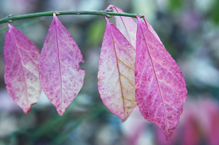 Euonymus alatus 'Compactus', early November. A compact form of the deciduous winged spindle tree.