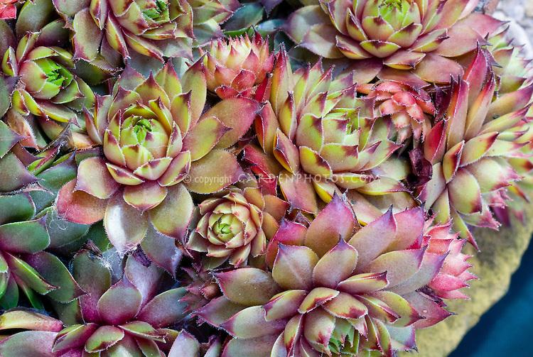 Sempervivum tectorum 'Atropurpureum' succulent fleshy foliage plant rosettes