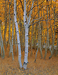 Inyo National Forest, CA<br /> Grove of twisting aspen (Populus tremuloides) trunks in fall color along  Rush creek below Silver lake