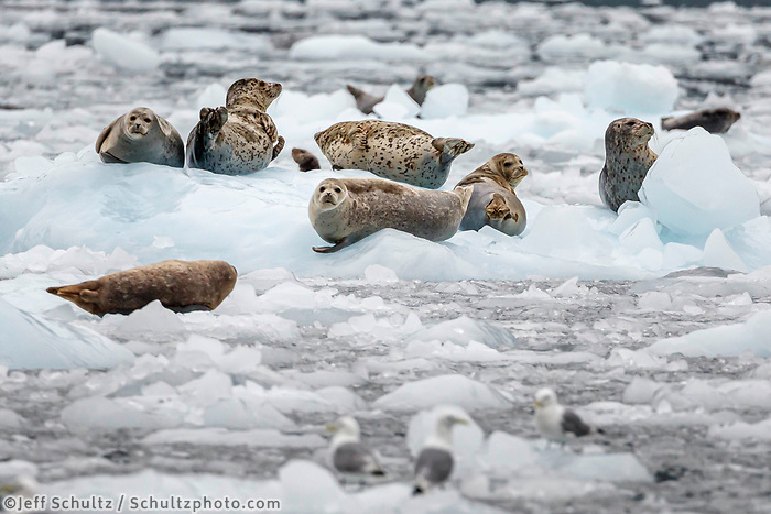 Harbor seals on ice bergs in Barry Arm at Barry Glacier in Prince William Sound.  Summer, Alaska   Wildlife <br /> <br /> Photo by Jeff Schultz/  (C) 2019  ALL RIGHTS RESERVED