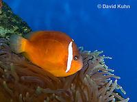 0322-1120  Tomato Clownfish, Amphiprion frenatus, with Bubble-tip Anemone, Entacmaea quadricolor  © David Kuhn/Dwight Kuhn Photography