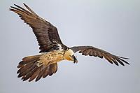 Bearded Vulture (Gypaetus barbatus), subadult bird in flight, Pyrenees, Aragon, Spain, Europe