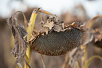 15-10-2021 Sunflower ready for harvest <br />  ©Tim Scrivener Photographer 07850 303986<br />      ....Covering Agriculture In The UK....