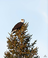 Bald Eagle (Haliaeetus leucocephalus), national symbol of the USA, keeps watch from its perch.