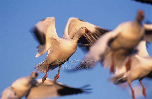 Snow Goose, Chen caerulescens, adults in flight, Bosque del Apache National Wildlife Refuge , New Mexico, USA