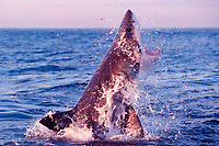 great white shark, Carcharodon carcharias, breaches to attack South African (Cape) fur seal pup, Arctocephalus pusillus pusillus, False Bay, South Africa (3 of 5)