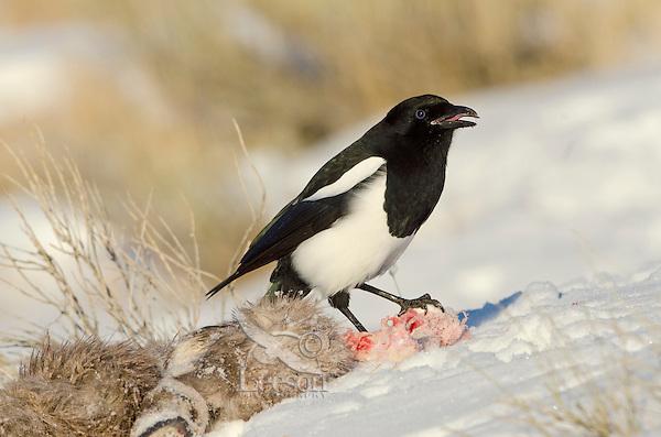 Black-billed Magpie (Pica hudsonia) scavenging on dead bighorn sheep lamb.  Wyoming, winter.