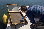 Colin Eimers Putting Measured Oysters Back Into Tray, Sasanoa River