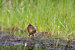Virginia rail foraging for food