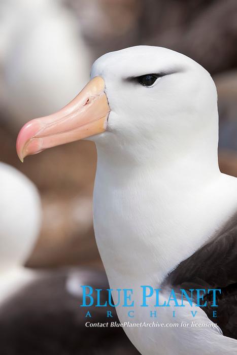 black-browed albatross, Thalassarche melanophris, Steeple Jason Island, Falkland Islands