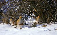 Rebhuhn, Männchen, Hähne, Hahn, Perdix perdix, grey partridge, English partridge, Hungarian partridge, hun, male, La Perdrix grise