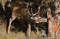White-tailed Deer Buck (Odocoileus virginianus) checking out rub or scrape on tree--location where bucks have rubbed during fall rut.  November.