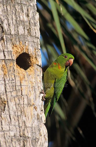 Green Parakeet, Aratinga holochlora,adult at cavity in palm tree, Brownsville, Rio Grande Valley, Texas, USA